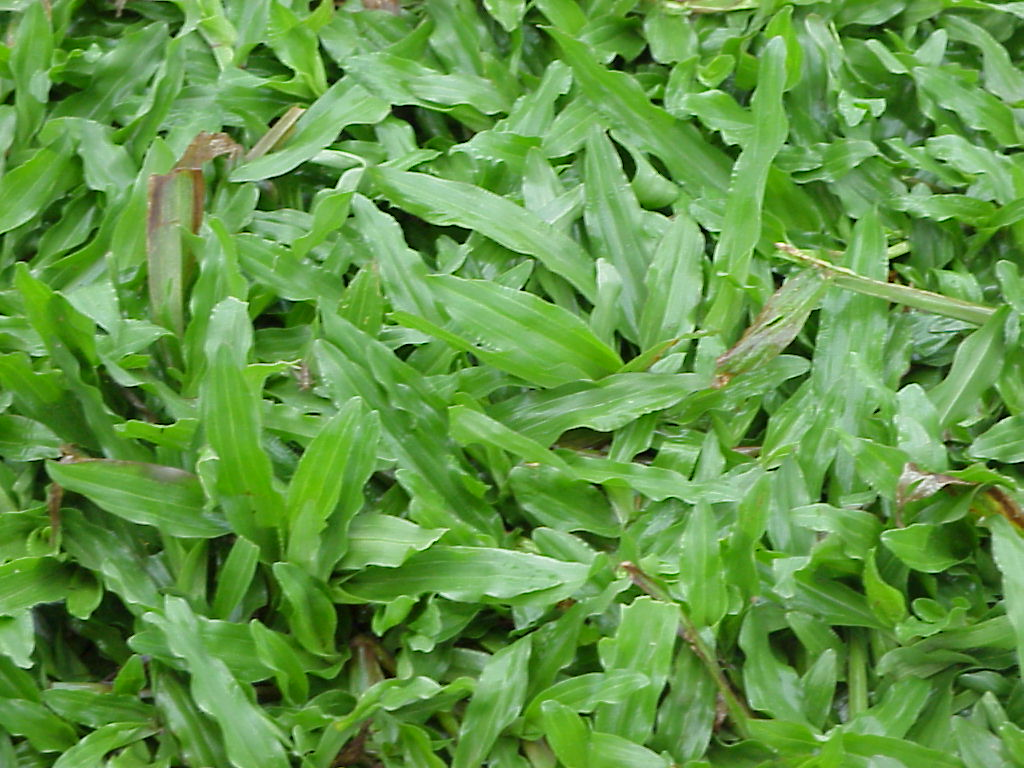 หญ้ามาเลเซีย